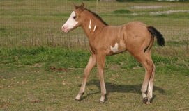 Paint Colt. Buckskin paint colt walking in green pasture Stock Images