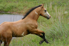 Paint Colt Running Uphill at Pond. Buckskin paint colt plunges uphill on bank of stock pond in summer pasture Stock Images