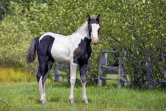 Paint Colt standing by trees Royalty Free Stock Image