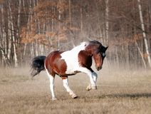 Paint draft horse runs free in autumn meadow stock photos