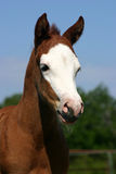Paint Filly. Bald faced paint filly, one week old, with long white whiskers on chin and white eyelashes Stock Image
