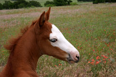 Paint Filly. One month old Paint filly, in meadow of wildflowers Royalty Free Stock Images