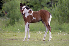 Paint Filly Royalty Free Stock Photo