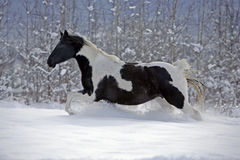Paint Foal running in fresh snow Stock Photography