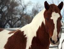 Paint Gelding. Head Shot on Winter Day Royalty Free Stock Photo