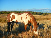 Paint Gelding grazing. A Paint Gelding grazing in a mountain pasture in a sunny fall day Stock Image