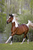 Paint Gelding at liberty. Beautiful American Paint Gelding galloping in meadow, running free Royalty Free Stock Images