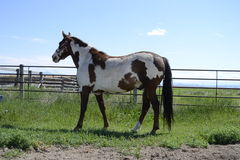 Paint Gelding. A Paint Gelding looking off into the next field Stock Image
