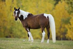 Pinto Arabian Gelding standing at pasture, watching. Paint Gelding in meadow, trees in autumn colors royalty free stock photos