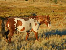 Paint Gelding walking in Sage. A Paint Gelding  walks through sage brush a long a dry streambed Stock Photography