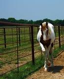 Paint Horse Stock Photos