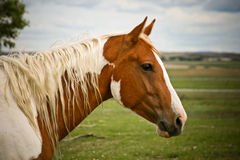 Paint horse Stock Photography