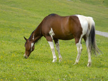 Paint horse. A single paint horse eating Royalty Free Stock Photos