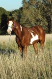 Paint horse. American paint horse standing in field of tall prairie grass Royalty Free Stock Photos