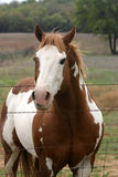 Paint Horse. American Paint Horse stallion standing at fence with pasture and trees in background, mane blowing in breeze Stock Photography