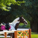 Paint horse with bridle and saddle against background of park. Royalty Free Stock Photography