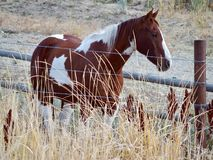 Paint Horse. Brown and white paint horse standing by a wooden ranching fence stock image