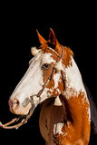 Paint Horse Close Up Stock Photo