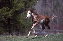 Paint horse colt. American paint horse stud colt running in pasture stock images