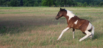 Paint Horse Foal Getting Up. A paint horse foal standing up in a farm yard royalty free stock image