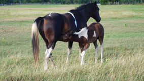 Paint Horse Foal Nursing. Brown and white paint horse foal nursing stock images