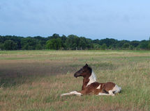 Paint Horse Foal Resting. A paint horse resting in a pasture royalty free stock images