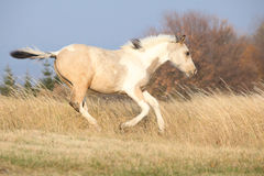 Paint horse foal running in freedom alone Royalty Free Stock Photo