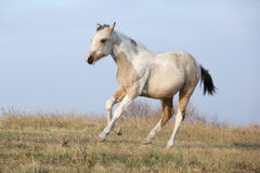 Paint horse foal running in freedom alone Royalty Free Stock Images