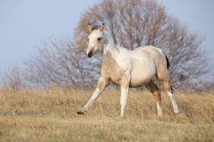 Paint horse foal running in freedom alone Stock Images