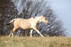 Paint horse foal running in freedom alone Royalty Free Stock Photography