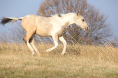 Paint horse foal running in freedom alone. In autumn stock photography