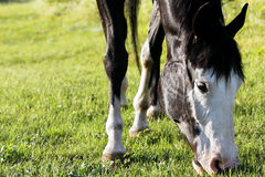 Paint Horse Grazing. Closeup image of a black and white paint horse grazing on a green pasture in bright sunset light (focus point on horse head Royalty Free Stock Photography