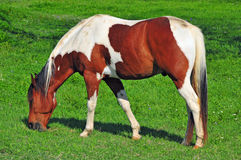 Paint Horse Grazing in a Green Meadow. A solitary paint horse grazes in a green meadow Royalty Free Stock Photos