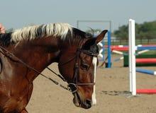 Paint Horse Jumper. American paint horse showjumper gelding in gag bit a bit unhappy Stock Images