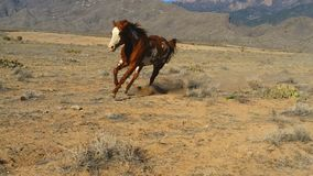 Paint Horse Leaning Into a Run Stock Photos