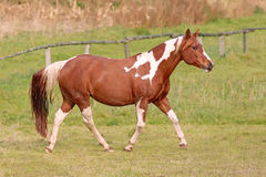 Paint Horse mare. In the fields in autumn Stock Photography
