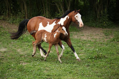 Paint horse mare with adorable foal on pasturage. In summer stock images