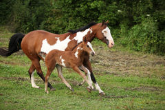 Paint horse mare with adorable foal on pasturage Stock Photography