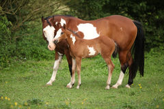 Paint horse mare with adorable foal on pasturage. In summer stock photos