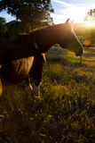 Paint Horse Mare In Field At Sunset Stock Image