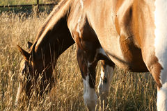 Paint Horse Mare Grazing At Sunset Stock Image