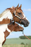 Paint horse mare with its foal. On pasturage royalty free stock photography