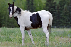 Paint Horse in a meadow Stock Image