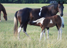 Paint Horse Nursing. A paint horse mare nursing its foal royalty free stock photography