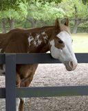 Paint Horse in a Paddock. A handsome chestnut and white Paint horse hangs his head over a fence rail in a shady paddock Royalty Free Stock Photos