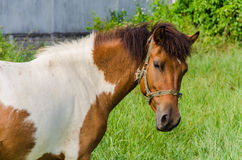 Paint Horse in Pasture Stock Photography