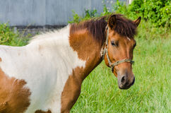 Paint Horse in Pasture Stock Image