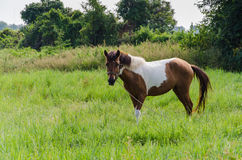 Paint Horse in Pasture Royalty Free Stock Photo