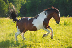 Paint horse playing on freedom. Paint horse runs on freedom stock image