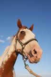 Paint Horse Portrait Stock Images
